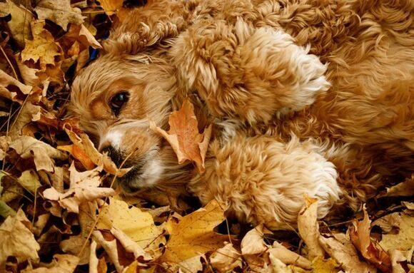 pictures_of_dogs_playing_in_leaves_01