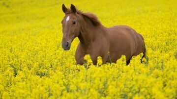 bigpreview_A Horse in a Field of Flowers